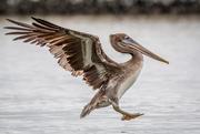 14th Nov 2020 - Incoming Brown Pelican