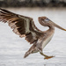 Incoming Brown Pelican on 365 Project