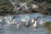 15th Nov 2020 - Gull party