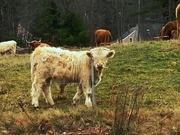 12th Nov 2020 - Highland cattle