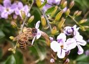 15th Nov 2020 - A Bee