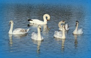 14th Nov 2020 - Swan Lake .