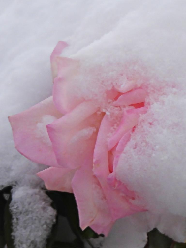 Last Rose by janeandcharlie