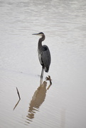 15th Nov 2020 - Great Blue Heron.