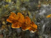 15th Nov 2020 - Oak leaf