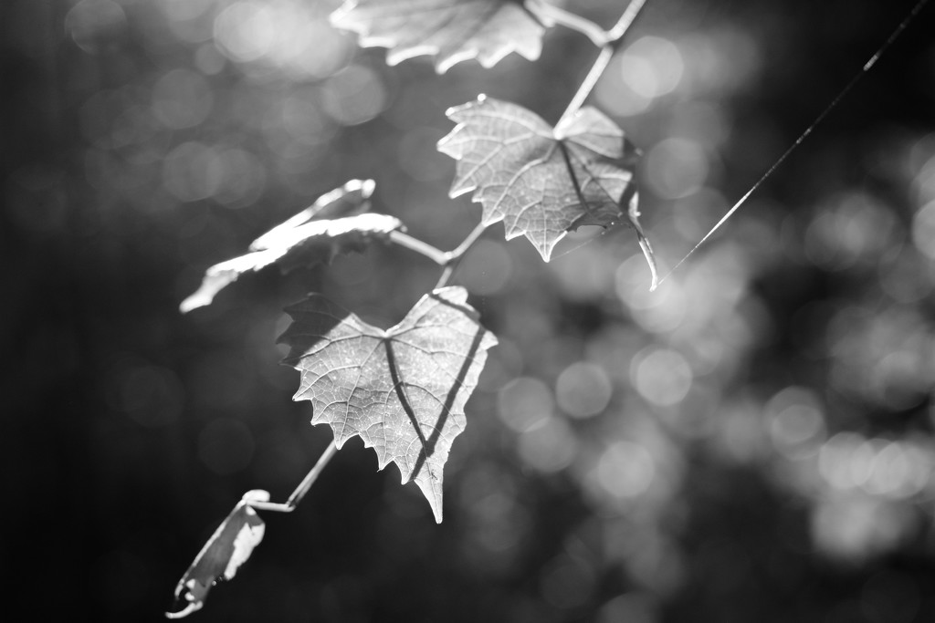 Backlit muscadine leaves... by thewatersphotos