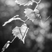 Backlit muscadine leaves...