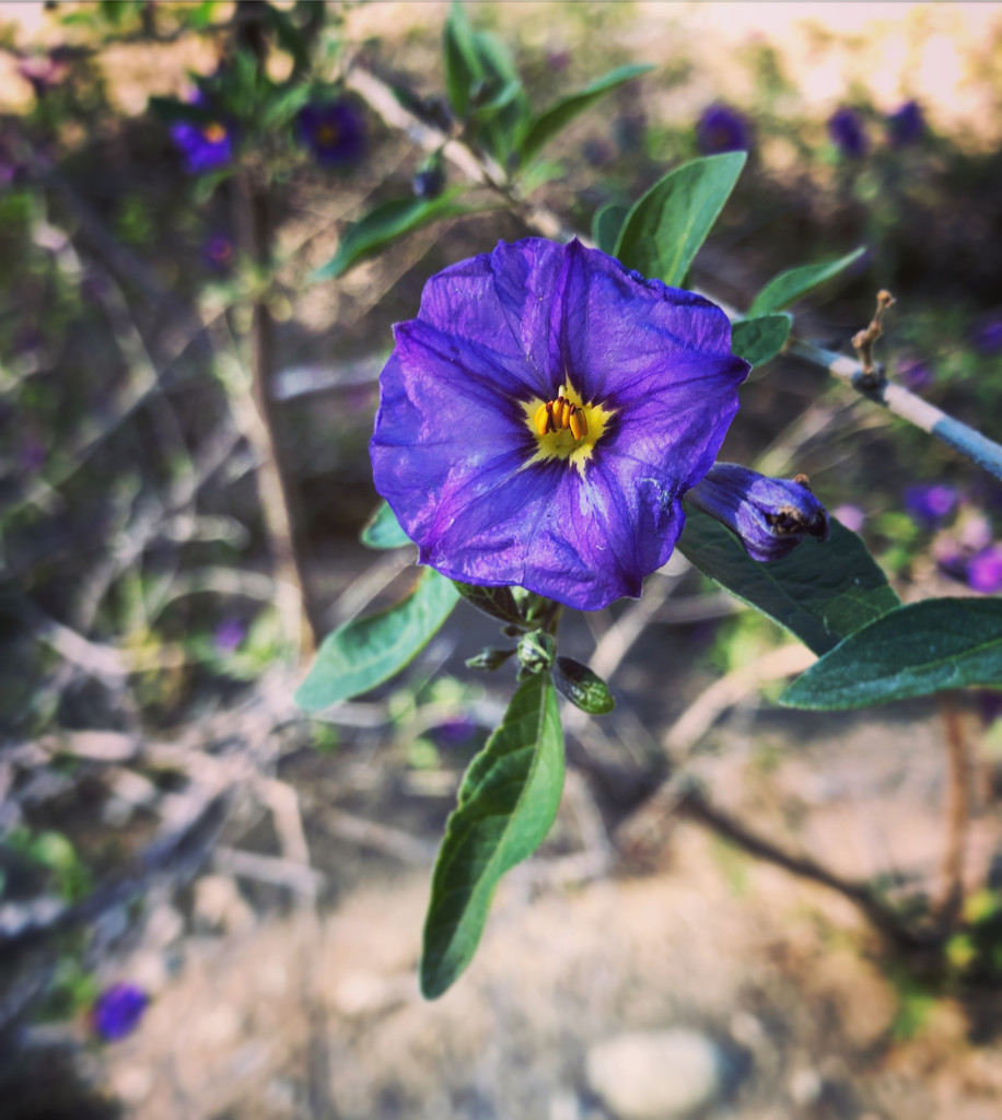 Purple Nightshade by loweygrace