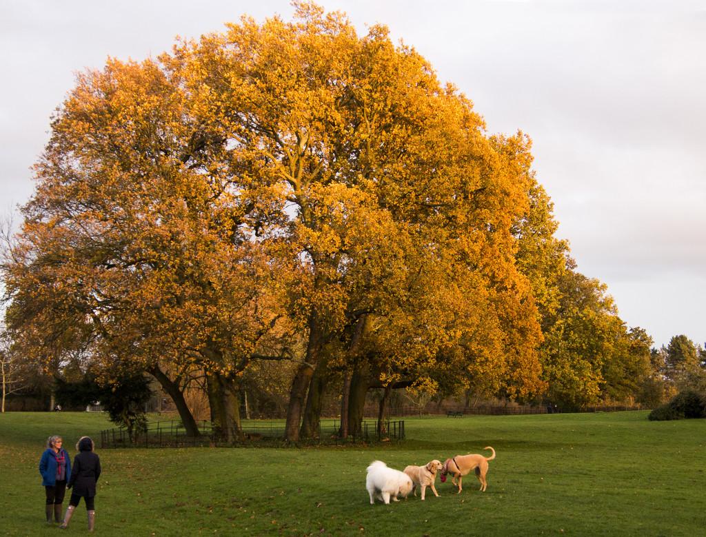Golden (Retriever and tree) by shepherdman