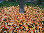 15th Nov 2020 - Blanket of Leaves