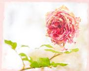 6th Nov 2020 - Aged Rose