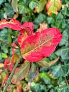 17th Nov 2020 - Turning red.
