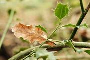 9th Nov 2020 - Oak Leaf
