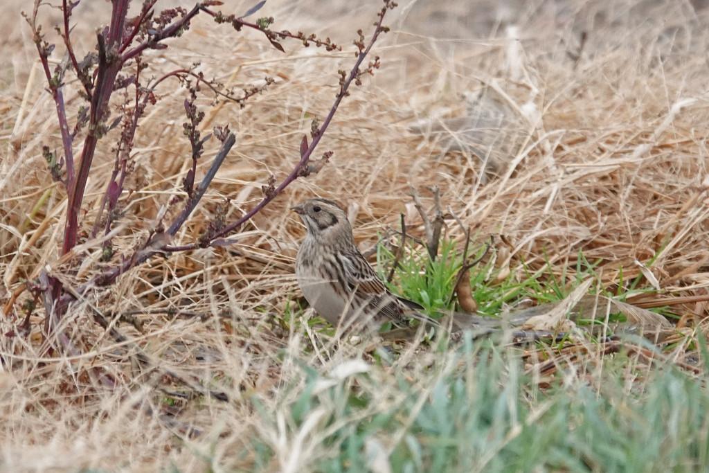 Bird Species #650 - Lapland Longspur by annepann