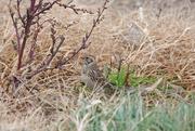 15th Nov 2020 - Bird Species #650 - Lapland Longspur