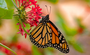 15th Nov 2020 - One More Monarch Butterfly!