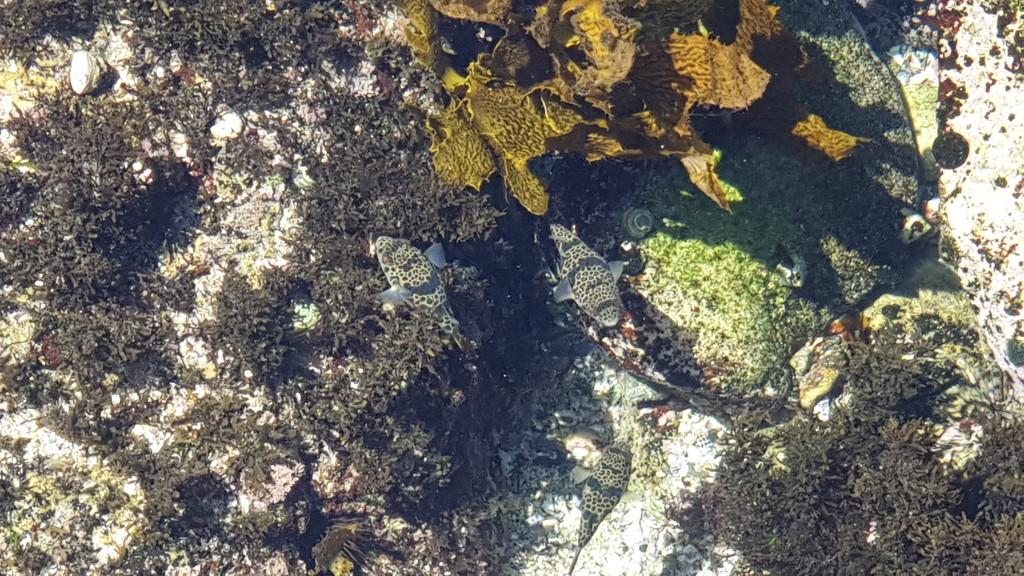Smooth Toadfish by julianneovie