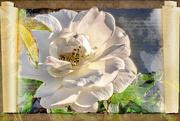 16th Nov 2020 - Rose unfolded