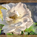 Rose unfolded