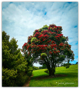 15th Nov 2020 - The First of the Pohutukawa's