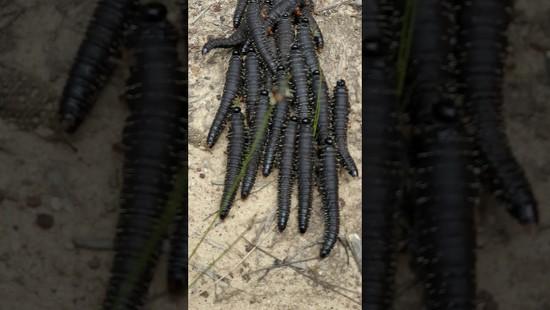 5th Nov 2020 - Sawfly Caterpillar Dancing
