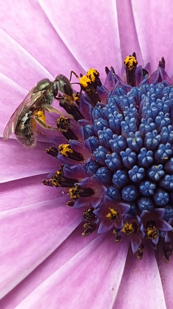Australian Stingless Bees by julianneovie