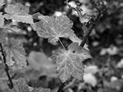 16th Nov 2020 - redcurrant shrub detail