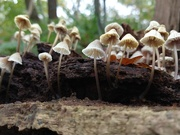 16th Nov 2020 - Tiny toadstools