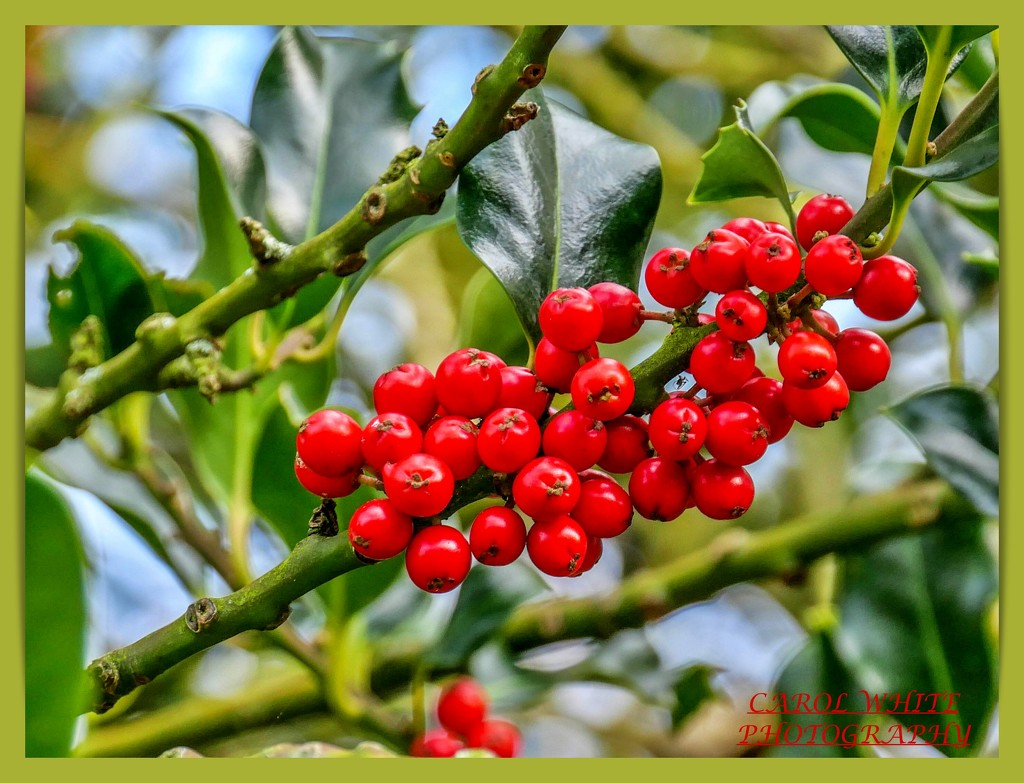 Holly Berries by carolmw