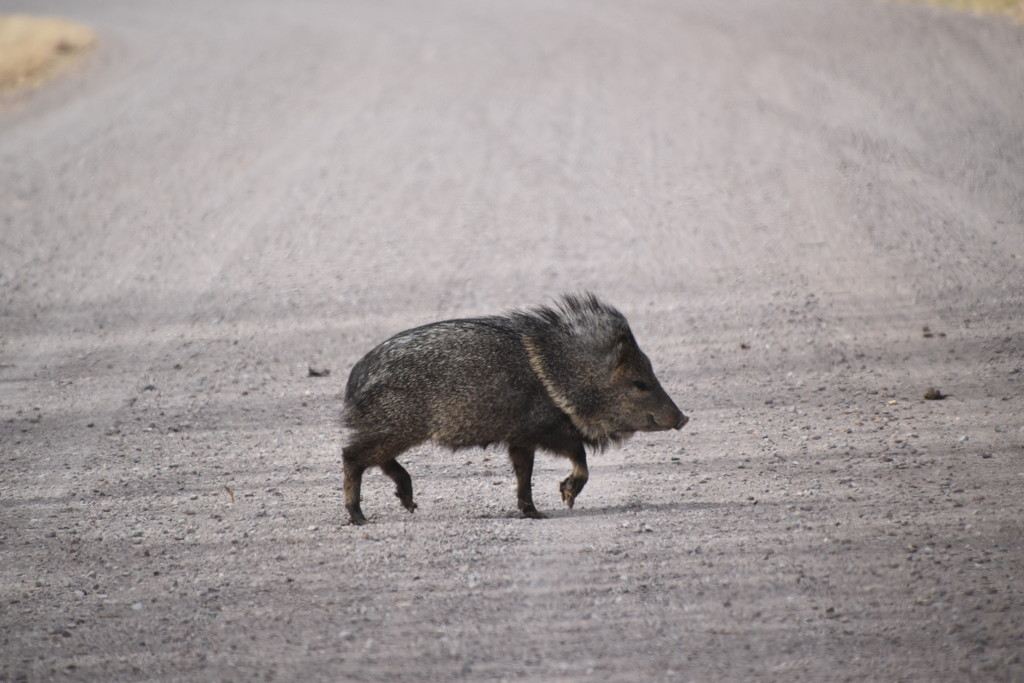 This Little Piggy Went Wee Wee Wee all The Way Home. by bigdad