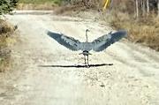 16th Nov 2020 - Grey heron ready to take flight