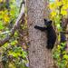 Black Bear Cub in the Smokies by photograndma