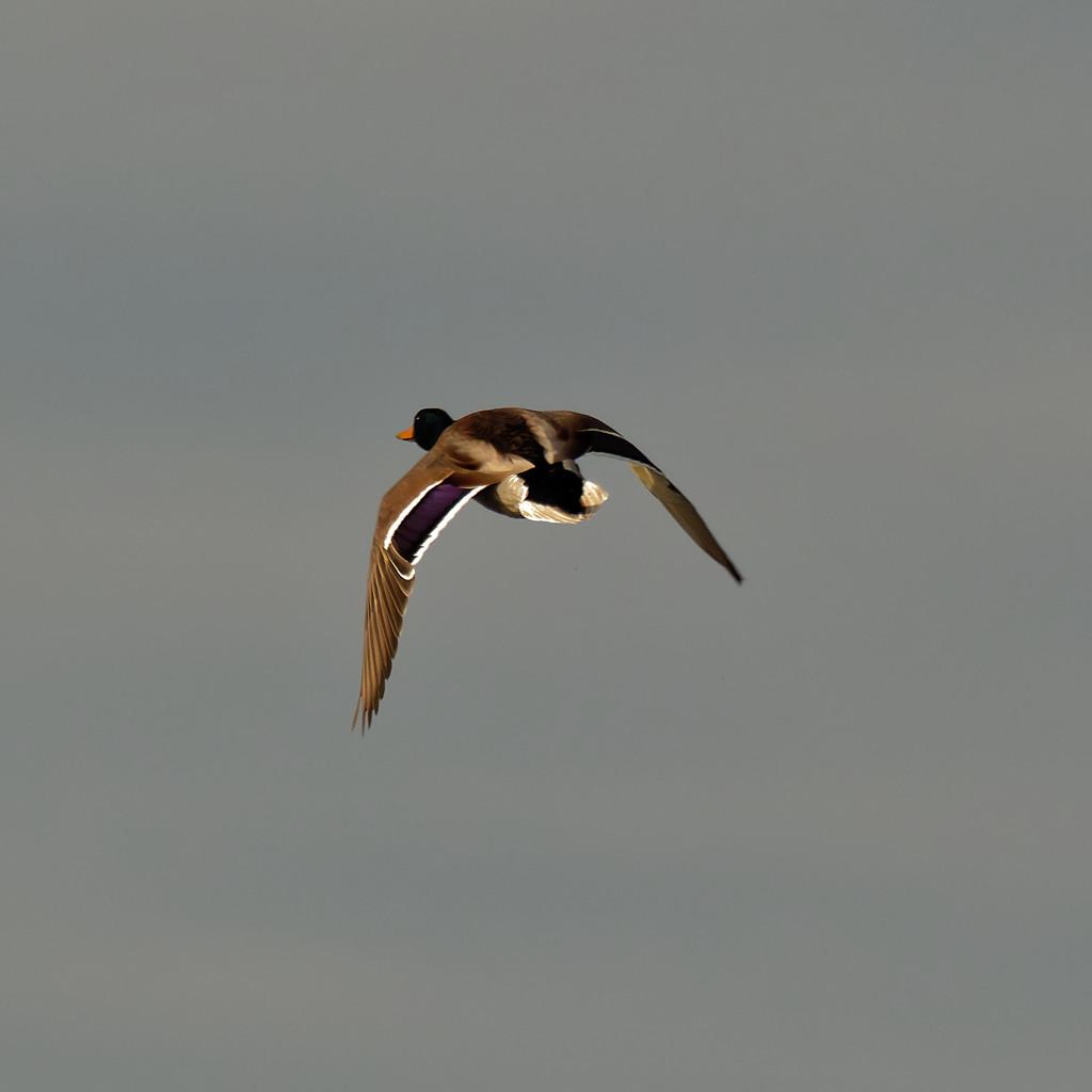 mallard in flight by rminer