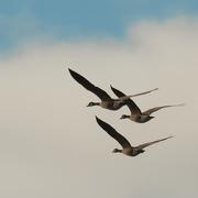 16th Nov 2020 - Canada geese formation
