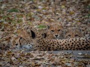 16th Nov 2020 - Cheetah family