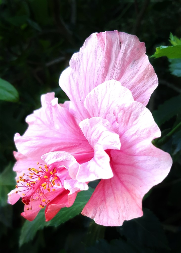 Pink Hibiscus  by salza