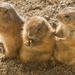 Prairie puppy
