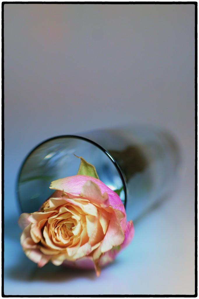 Spilt rose by joysabin