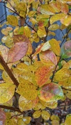 17th Nov 2020 - Crepe myrtle leaves in autumn splendor...
