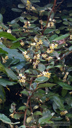 17th Nov 2020 - Painted silverberry blossoms...