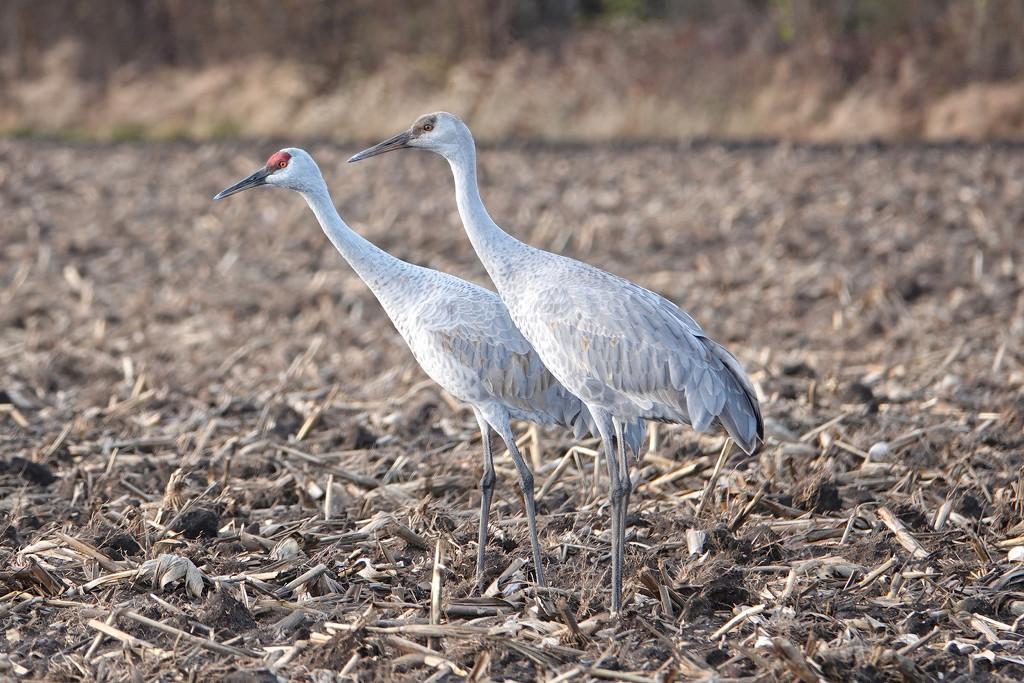 Sandhill Cranes by annepann