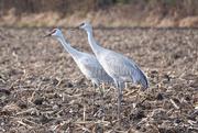 16th Nov 2020 - Sandhill Cranes