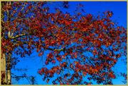 16th Nov 2020 - Leaves & Blue Sky