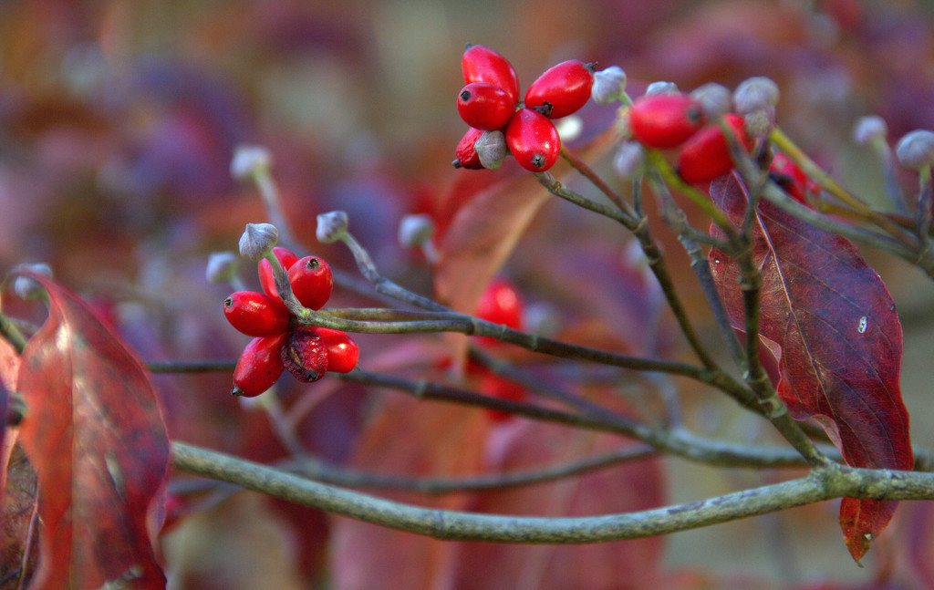 Dogwood Berries  by calm