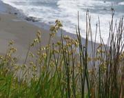 14th Nov 2020 - seaside grasses