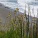 seaside grasses
