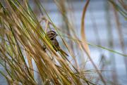 16th Nov 2020 - Song sparrow