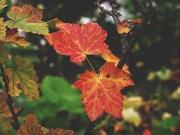 17th Nov 2020 - Redcurrant bush