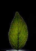 16th Nov 2020 - More of leaf photos