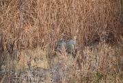 17th Nov 2020 - Javalina In The Brush.